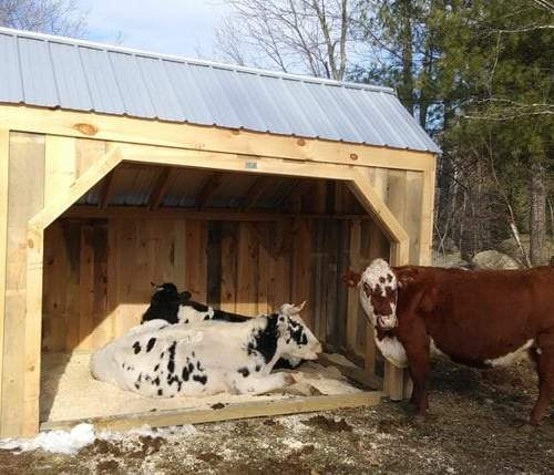 Happy cows in one of our 10x14 Basic Run Ins