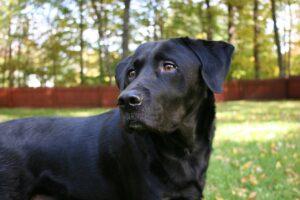 Alt tag: A black dog